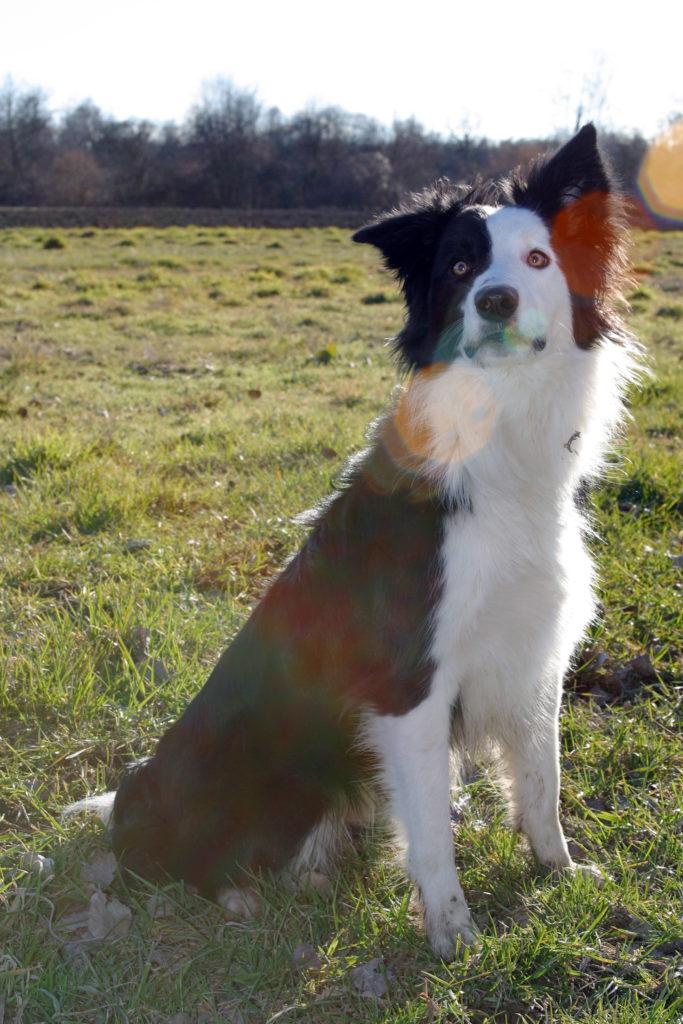 Portrait animaux Border Collie chien de berger